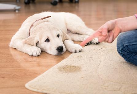 Dreckiger Teppich durch Hundeurin